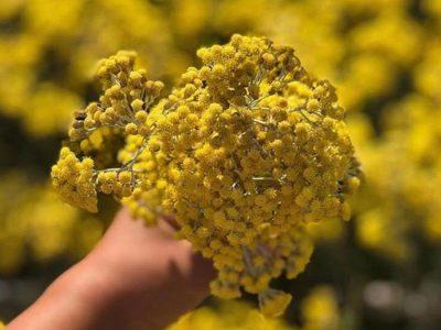 elicriso-fiore
