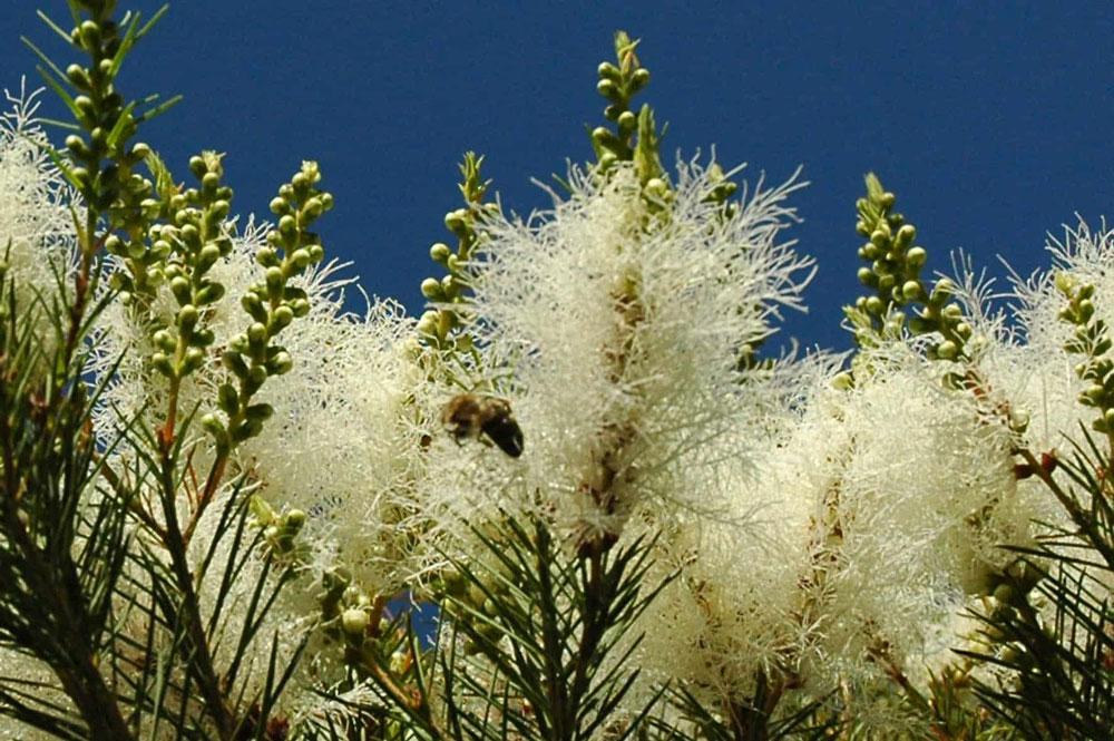 pianta della Melaleuca Alternifolia