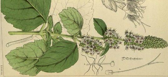 Patchouli pianta illustrazione