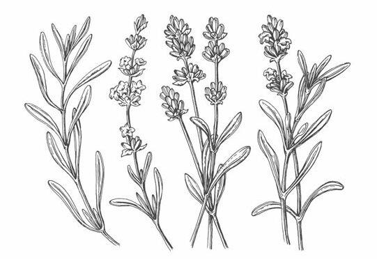 Fiore di Lavanda della famiglia delle Labiate