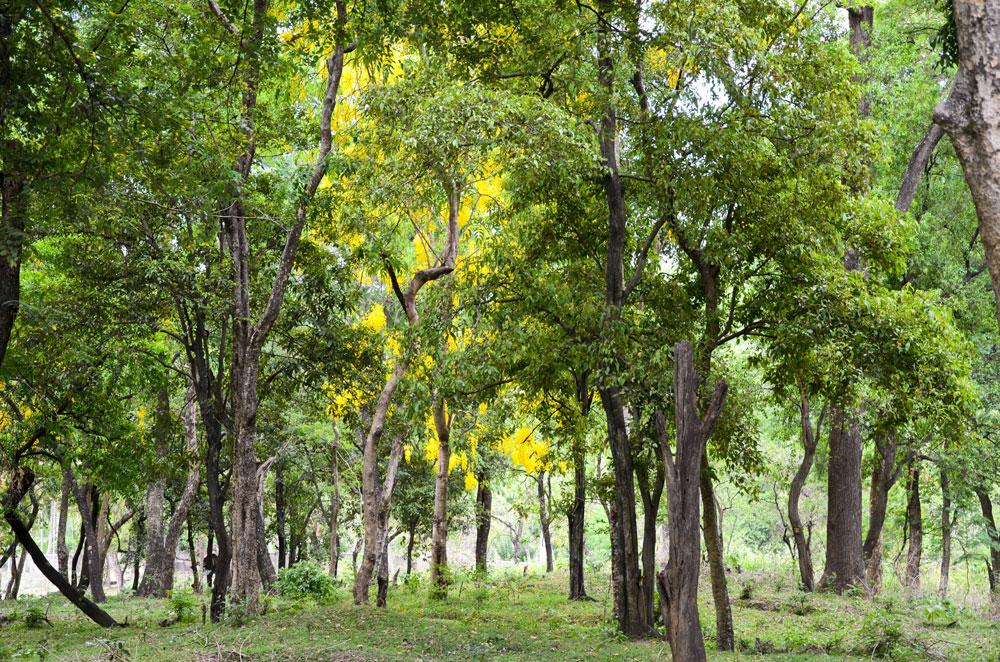 foresta di sandalo