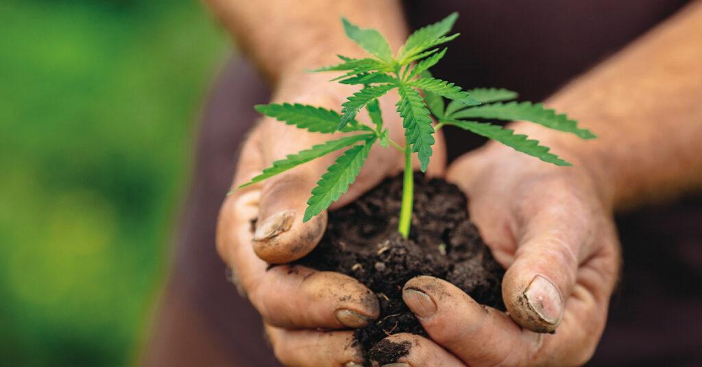 cannabis sativa pianta
