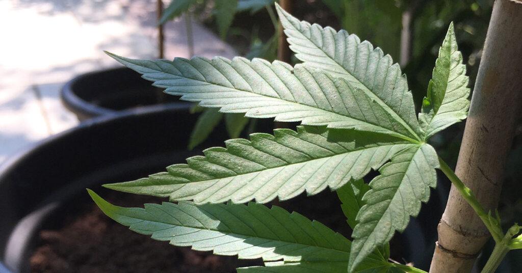 pianta di canapa - Cannabis sativa Kompolti